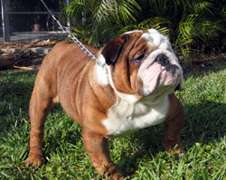 DOGS - BRITISH BULLDOG